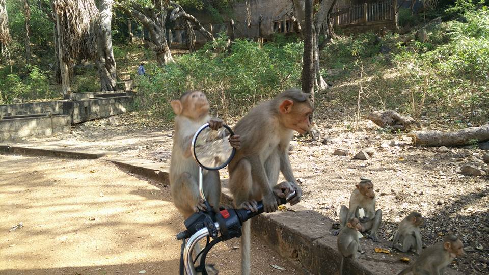Madurai monkeys